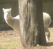 Alpaca Ezra Behind Tree