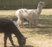 Alpaca Onyx and Ezra at the Lewis Oliver Farm