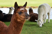 Brown colored Alpaca photo taken by Christels