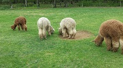 Alpaca grazing on grass at Highland Airs Alpaca Ranch