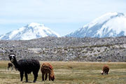 Photo of Alpaca at the Lauca National Park Chile by Andre Distel