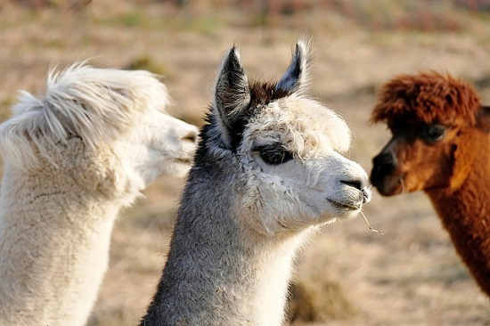 Alpacas are Herd Animals