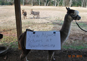 Photo of CiCi the Alpaca holding a sign