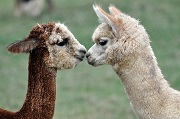 Just Friends Alpacas photo by Mike Munchel