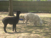 Alpaca Onyx and Ezra of the Lewis Oliver Farm