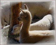 Two Sleeping Cria at Walnut Creek Alpacas