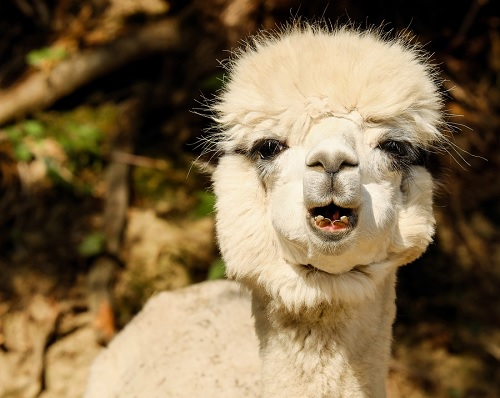 What do you call it when Alpaca sing alone