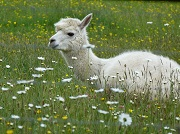 Photo of White Alpaca sitting in Field of Wild Flowers by Meatle