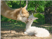 Alpaca Mom with Baby Cria at Walnut Creek Alpacas Farm