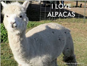 I Love Alpacas Postcard - Photography by Barberelli Studio