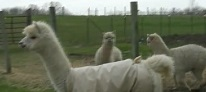 Alpaca Cria Babies Pronking and Playing at Dutch Hollow Acres