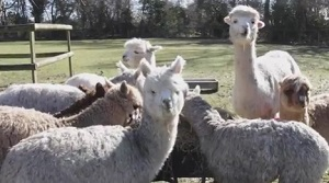 Alpacas of Pennybridge Alpacas Farm