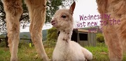 Baby Alpacas First Day