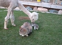 Lacey the Alpaca meets a kitten