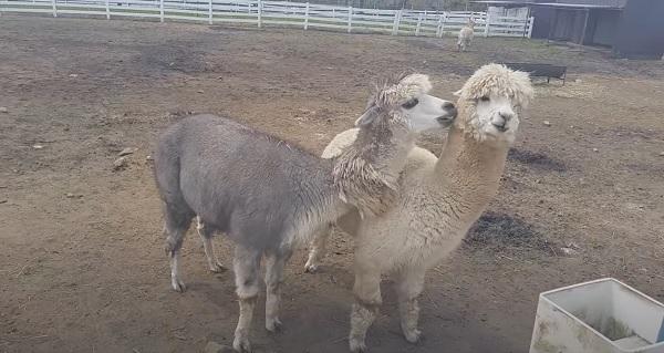 Visit to Nasu Alpaca Farm located in Japan