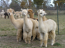 Group of Alpaca located in Williamston Michigan