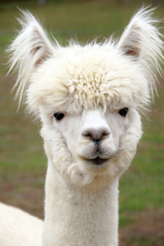 White Alpaca with Fluffy Ears