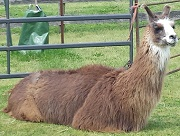 Photo of alert Llama at Suffolk County Farm